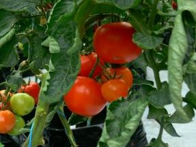 Ķekaru tomāti